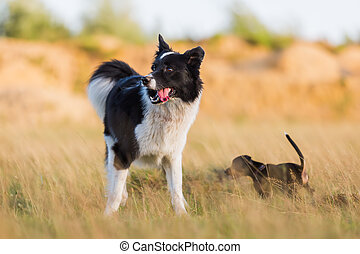 border collie in a summer meadow