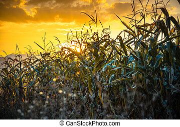 Corn field in a sunset