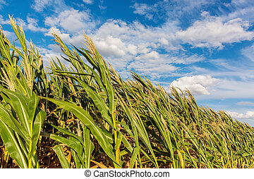 corn field on a windy day