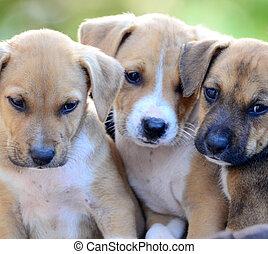 Cute amstaff puppies