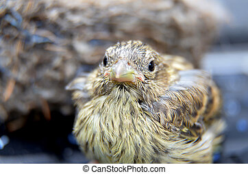 cute baby bird of house sparrow