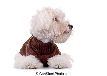 bichon wearing clothes