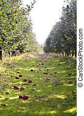 Fallen apples in an orchard after harvesting