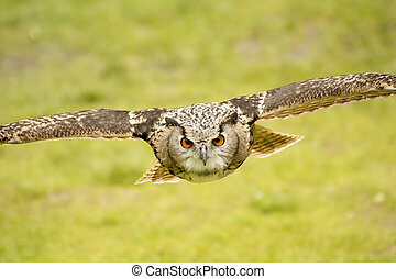 flying eagle owl - picture of a flying eagle owl