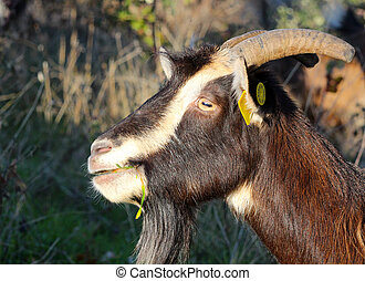 goat grazing in the field, domestic and farm animals theme