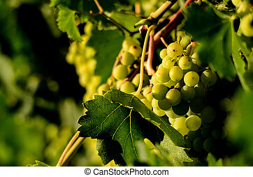 Grapes in the vineyard , winery, wine, morning,