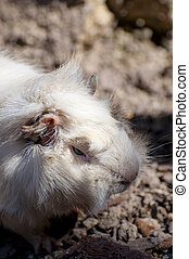 guinea pig - Picture of a guinea pig, little animal.