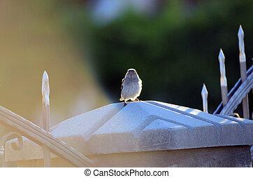 House sparrow in the morning sun