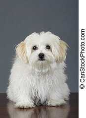maltese dog sitting in front of grey background