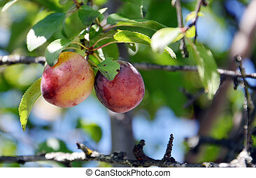 Organic ripe plum