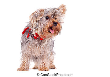 panting small yorkshire terrier