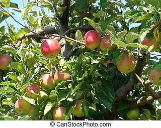 ripe apples in fruit orchard