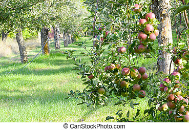 picture of a Ripe Apples in Orchard ready for harvesting, Morning shot, image
