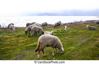 Picture of a Sheep grazing on lake shore. Animal theme
