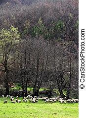 Sheeps grazing on grass field. Animal theme