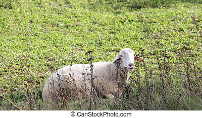 sheeps on a meadow. domestic animals theme
