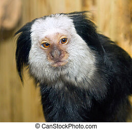 picture of a small mammal marmoset Geoffroy - a picture of a...