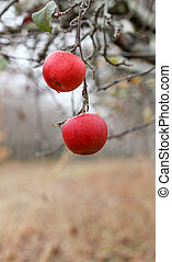 picture of a Two apples forgotten in a harvest , Apple Orchard in november