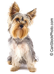 picture of a very cute Yorkshire Terrier in front of a white background