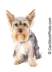 cute Yorkshire Terrier in front of a white background