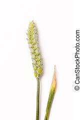 Wheat ears i macro studio shot