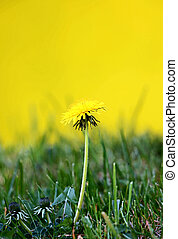 yellow dandelion flowers in spring