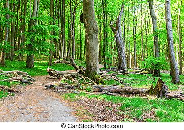 picture of aforest path in the Jasmund National Park, Ruegen, Germany