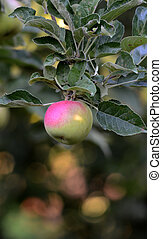 Apple on a branch in orchard