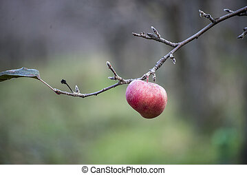 Apples on a tree in december