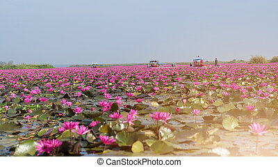 picture of beautiful lotus flower field at the red lotus...