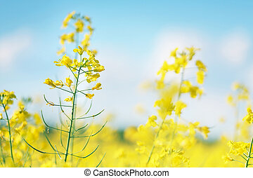 Picture of canola flower and yellow field