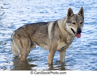 Picture of Czechoslovakian Wolfdog in the water