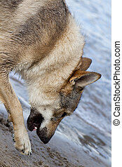 Picture of Czechoslovakian Wolfdog on the beach
