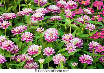 dark pink flower field
