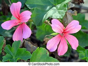 Picture of Malva Flowers