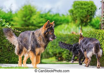 Old German Shepherd dogs in the garden