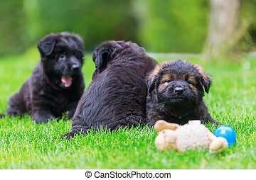 Old German Shepherd puppies on the lawn