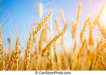 Picture of ripe wheat in field