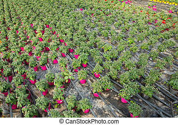 Picture of seedlings of tomatoes growing in pots in greenhouse