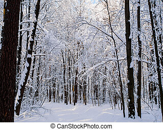 Picture of snowy trees in woods