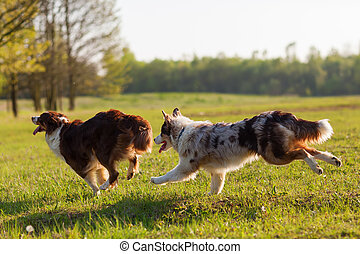 two Australian Shepherd running on the meadow