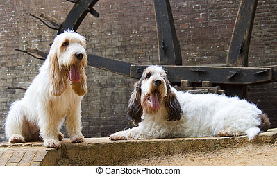 Grand Griffon Bassets Vendeen - Picture of two Grand Griffon...