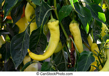 Organic pepper growing in a garden