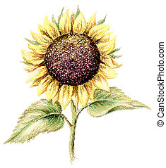 Picture, pastel, sunflower - Sunflower. Picture, pastel,...