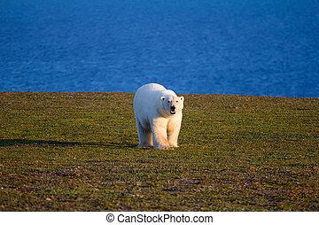 picture:, polar, land, zemlya, period., insel, -, bär, arten, archipel, novaya, sympagic, einmalig, tag, süden
