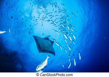 Picture shows a Manta Ray at Islas Revillagigedos
