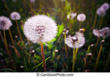 picture., summer., 高く, 牧草地, 種, タンポポ, 対照