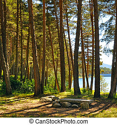 Forest with coniferous trees on a bright sunny day.