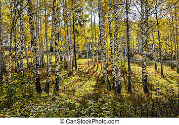 Picturesque autumn landscape in golden autumn birch grove
