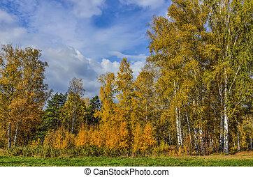 Picturesque autumn landscape in golden autumn birch grove